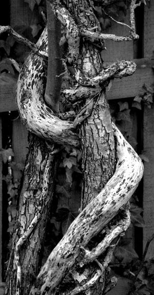 Trees entwined